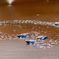 Hatchlings-to-sea