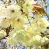 黄桜・黄色いさくら お花見青森三戸城山公園