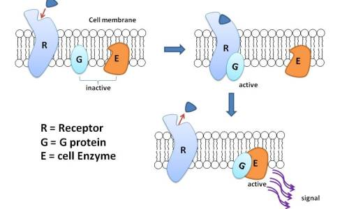 内分泌に関するタンパク質-Gタンパク質・Gタンパク質共役型受容体・ステロイドホルモン受容体-