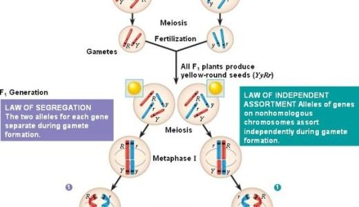 二遺伝子雑種