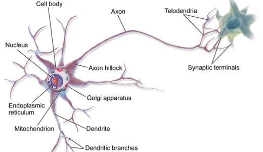 動物の神経組織-神経細胞(ニューロン)・グリア細胞-