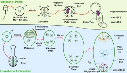 植物の配偶子形成