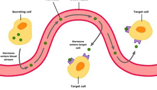 ホルモンと内外分泌腺