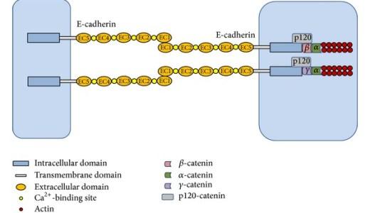 発生におけるカドヘリンの役割