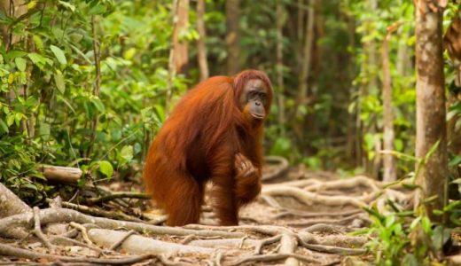 森林伐採する重機に立ち向かうオラウータンの姿が切ない