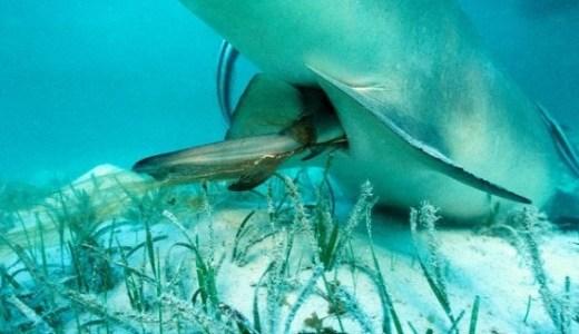 サメのお腹から幼魚がたくさん出てくる様子がすごい