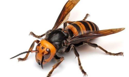 頭が取れても飛行することができる蜂の能力がすごい