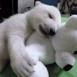 もはやヌイグルミ!シロクマの赤ちゃんがかわいすぎて癒される