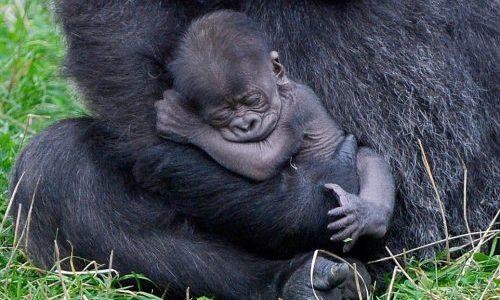 ゴリラの赤ちゃんが予想以上にゴリラゴリラしている!!