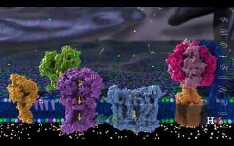 【マニアック】ミトコンドリアの電子伝達系の反応を一番わかりやすく丁寧に3Dで再現している動画