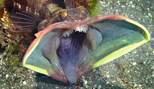 【Q&A】エイリアンフィッシュ(サーカスティック・フリンジヘッド)ってどんな魚?