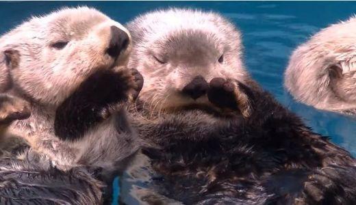悲劇だが可愛い!海藻で体を固定できない水族館のラッコがお互いの手を握り合って眠る