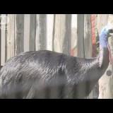 【NEWS】世界一危険な鳥「ヒクイドリ」に襲われて75歳男性が死亡