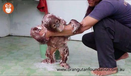 オラウータンの赤ちゃんの体を洗う映像がかわいすぎる