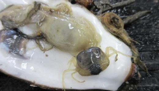 【Q&A】貝の中に暮らすカニ「オオシロピンノ」ってどんな生き物?