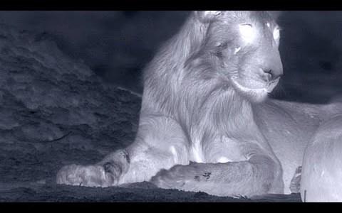 ライオンが真っ暗闇でバッファローを襲ってみた