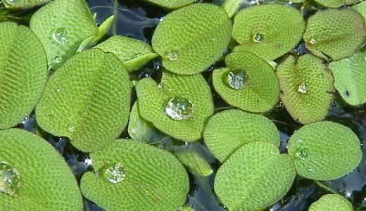 【Q&A】水生のシダ植物「サンショウモ」はどんな植物?