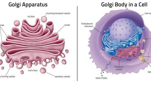 ゴルジ体の構造と物質輸送