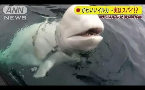 【NEWS】ロシア製のハーネスと小型カメラをつけたシロイルカがノルウェー沖で見つかる