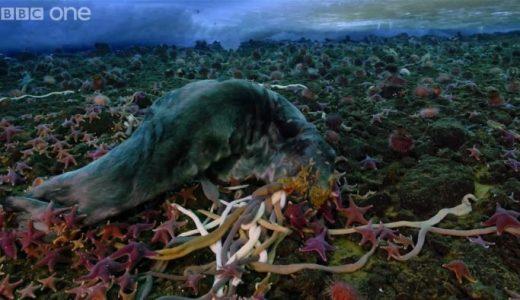 【閲覧注意】海底に沈んだアザラシの死体がウニやヒトデなどに食べられていく様子を撮影してみた