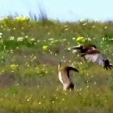 ウサギでも猛禽類に抵抗できる!!中々捕食されないウサギの映像