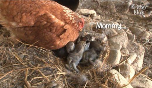 ウサギの赤ちゃんを温めるという謎行為をするニワトリが見つかる