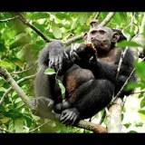 カメを叩き割って中身を食べるチンパンジーが撮影される
