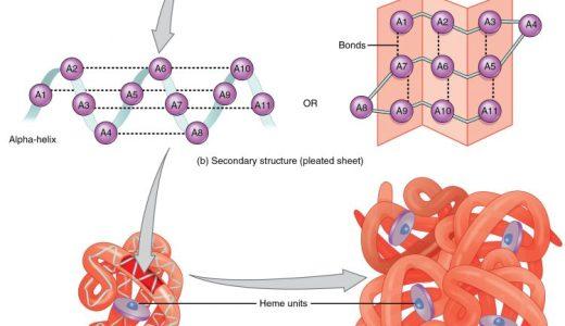タンパク質の構造・分類・性質