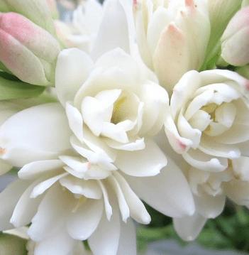 Sejarah Bunga Sedap Malam atau Tuberose