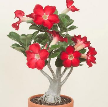 Bunga Adenium Obesum Atau Kamboja Jepang Alicia Florist Manado