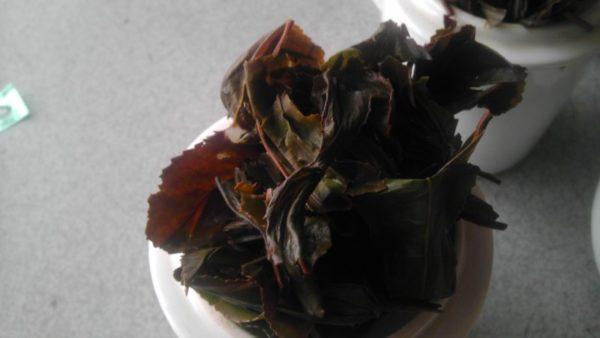 三富紅茶2013サンプル第2群茶殻-3
