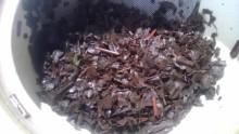 国産紅茶20130922秘密3