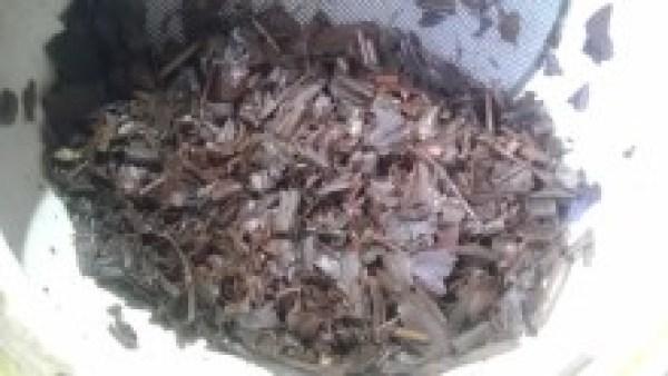 小山製茶20130927 ギャバロン紅茶2013 -茶殻