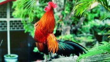 Peluang Usaha Ternak Ayam Ketawa
