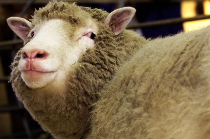 sheep in ireland drunk viagra mixed water what happened next