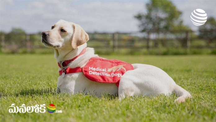 dogs can detect covid 19 patients easily with proper training