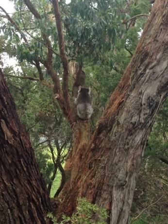 Koalas in trees along the road