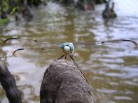 Unknown dragonfly on bald cypress knee on Tchefuncte River, Louisiana