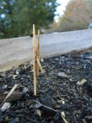 Long-headed toothpick grasshopper, Achurum carinatum, on a toothpick, tee hee