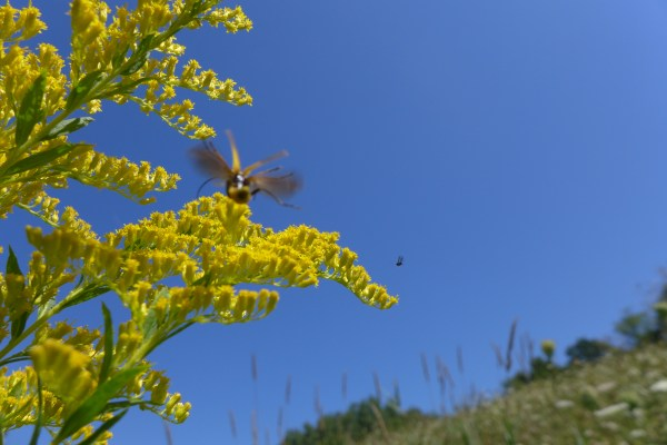 A soldier beetle lands as does a small flying insect