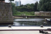 A swan and goslings taking a dip in the marina