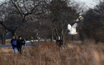 Photographers catch a glimpse of a snowy owl in flight at Salisbury Beach Reservation in Salisbury, Mass. in 2013.