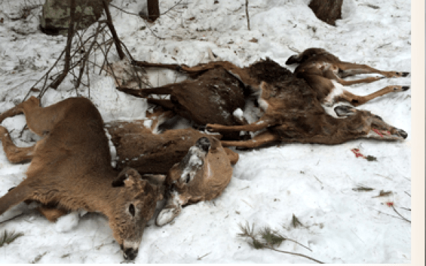 Five of the twelve deer found dead because of winter feeding in South Hampton, N.H., gathered for examination.