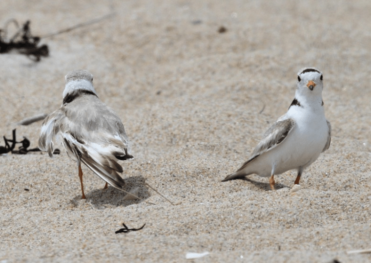 A pair of endangered piping plovers (say that six times fast!)