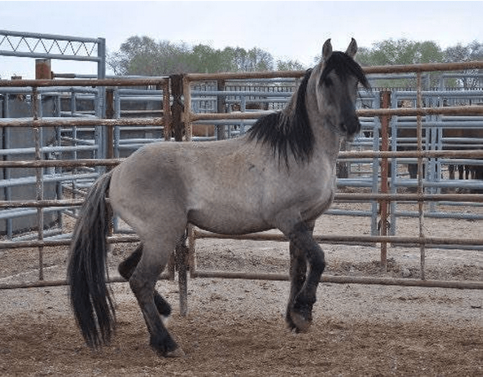 Grulla Stallion #3907, a lifelong wild stallion, was captured in April and dead by August.