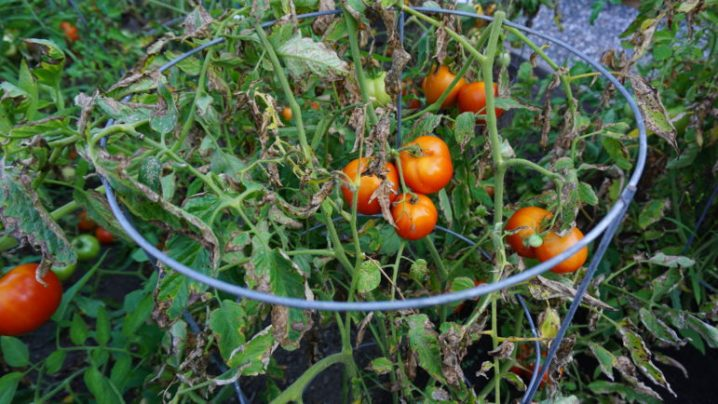 Gauntlet thrown in the annual dual against nature for tomato gardeners everywhere.