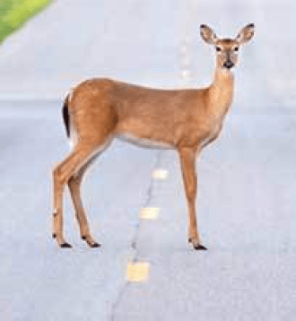 Slow: Deer crossing NH roads.