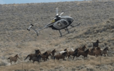 Wild horses being rounded up in Oregon.