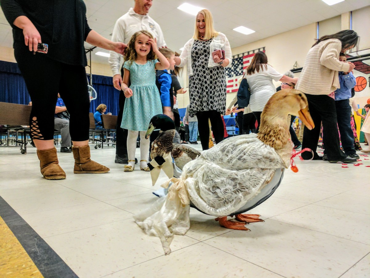 Duck wedding: Everyone cries fowl as love takes flight at Weston Elementary