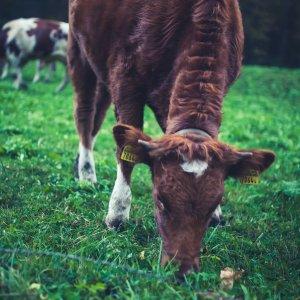 Grasende Kuh